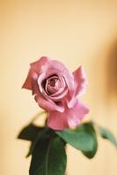 rosa, de les que encara fan olor